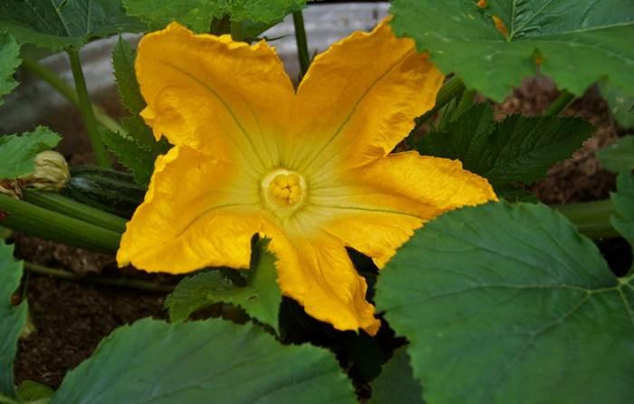 Кабачки цветы
