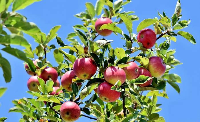 Яблоня