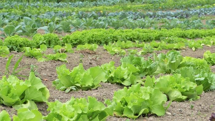Салат на огороде