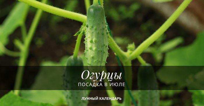 Посадка огурцов в июле